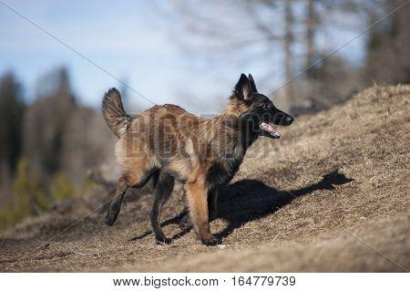 Belgian Shepherd puppy running. He is doing a quick turn