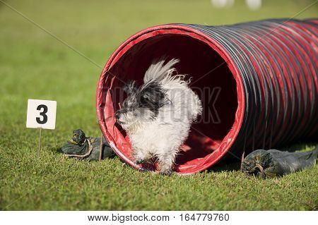 Cute, white, tousled dog running out of the red tunnel on outdoors agility competition