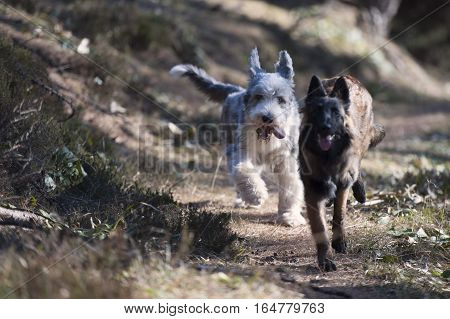 Two dogs running together (focus on white dog)