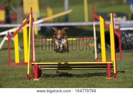 Nova Scot ia Duck Tolling Retriever, Toller in movement of nice long high jump on agility course.