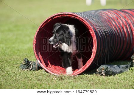 Clever Border Collie doing agility drill, he is looking out from a tunnel