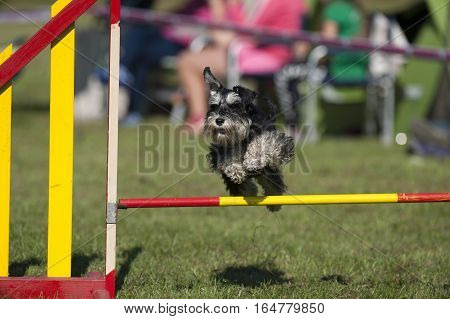 Cute dog compete on agility.  He is jumping over yellow hurdle