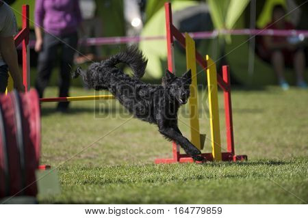 Black dog jumping over yellow hurdle. He is landing with first legs on a grass and listening his owner for the next command. He is running on outdoors agility competition.