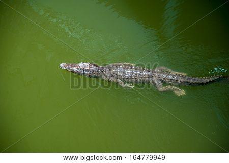 crocodile swims in water. Crocodile farm Thailand