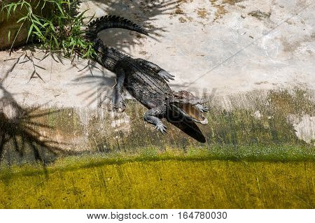 A crocodile basks on land under the shade of the palms opening hole. Crocodile farm in Thailand on Phuket island.
