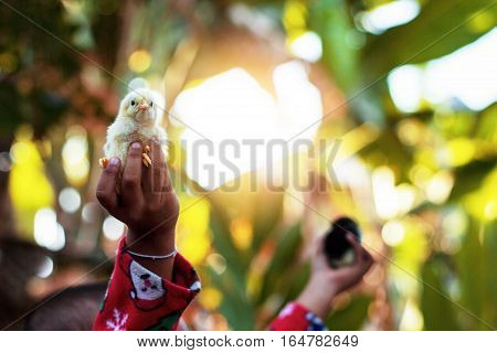 Children's hands are holding chicken with sunlight.