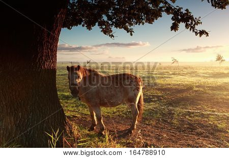 pony on misty morning pasture at sunrise in summer