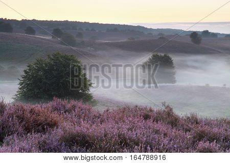 purple flowering heather hills in morning fog