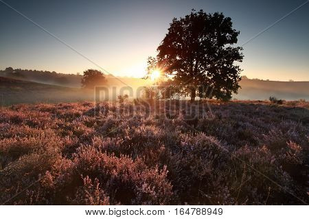 beautiful sunrise behind oak tree over heath in summer