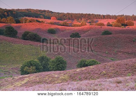 last sunbeams over hills with pink heather flower