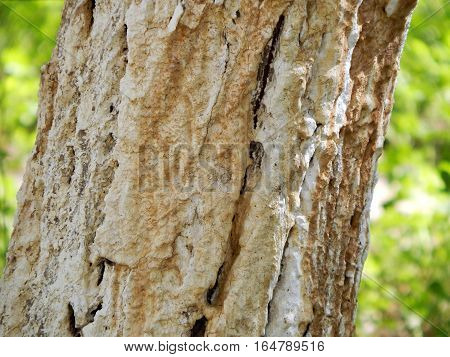 Tree trunk covered with lime. Close-up. Background.