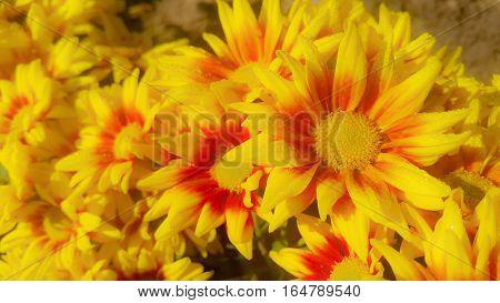 beautiful gazania flowers blooming on sunrise day