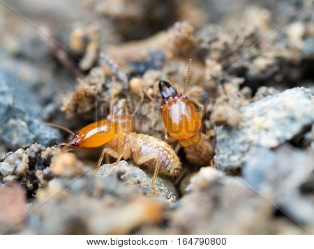 Close up termites or white ants destroyed.
