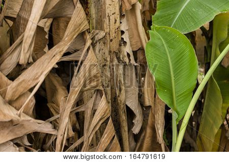 Banana tree and banana leaf Dry banana leaf and Green fresh banana leaf.