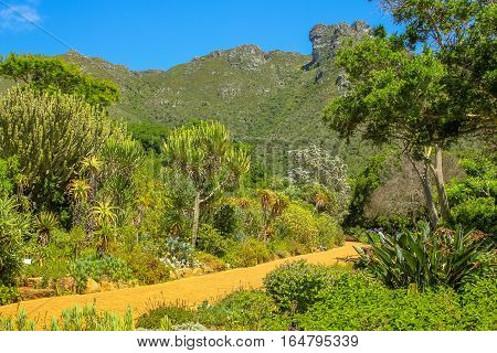The many species of plants and flowers native of the popular Kirstenbosch botanical gardens in Cape Town, South Africa with the Table Mountain National Park on background.