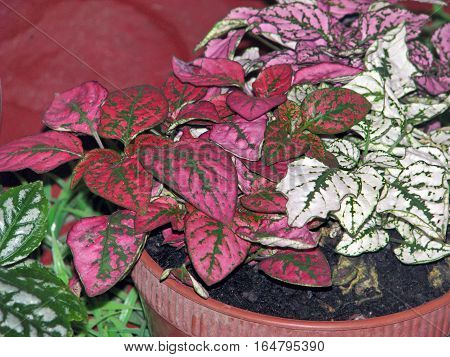 Red, Green, White And Pink Leaved Plants