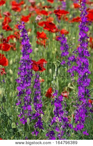 Wildflowers: poppies (lat. Papaver) and delphinium (lat. Delph