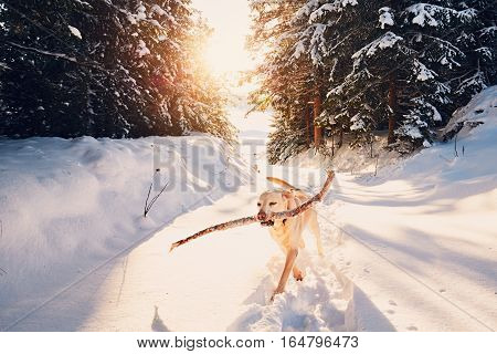 Dog in winter nature. Yellow labrador retriever is walking with stick in mouth.