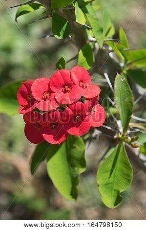 Red flower of Euphorbia milii or beautiful (lat. Euphorbia milii)