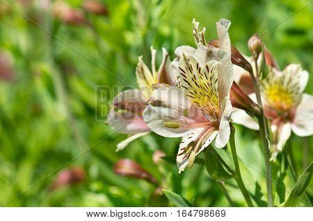 Alstroemeria hybrid (lat. Alstroemeria) on the background of green grass. Close-up