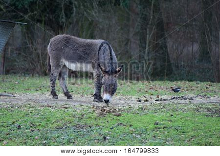 Grey donkey with white belly on green grass