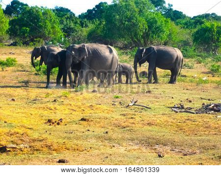 Sri lanka: group of elephants in Pinnawala the largest herd of captive elephants in the world