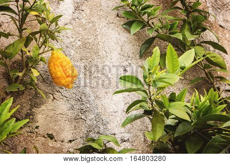 Lemon on branch. Fruit on cement wall background. Grow your own fruits.
