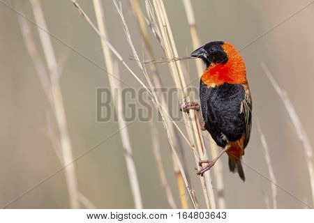 Close-up of Red bishop sitting on brown grass stems