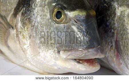 Bream With His Mouth Open Just Caught By The Fisherman In The Se