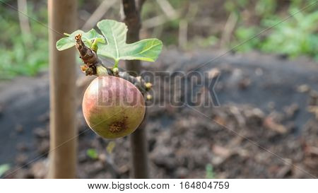 Figs Fruits On Tree