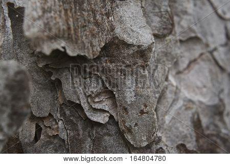 Brown grey tree bark texture close up, flakey and crisp
