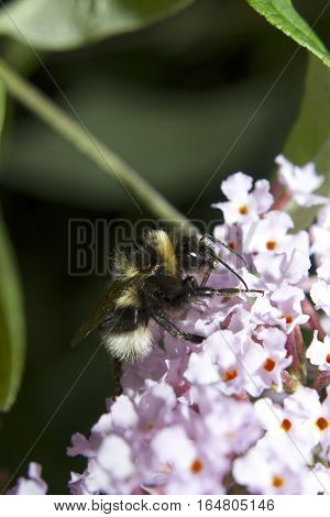 Bumblebee on pink flowers, insect, bumble bee isolated with green leaf background