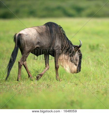 Gnus in Masai Mara National park Kenia