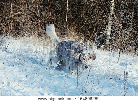 English setter walking in the frozen winter field on white snow background, furry spotty white big dog with brown spots