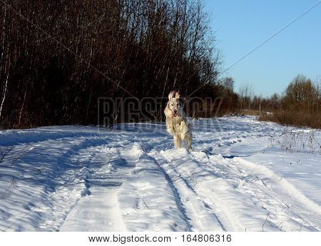 English setter running in the frozen winter field like a crazy, so funny, white big dog of hunting breed walking on snow on blue sky background