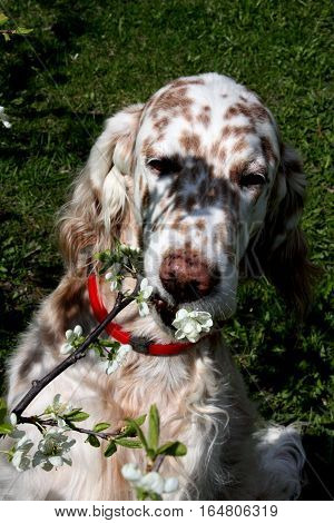 Funny spotty big dog eating first flower on the cherry branch tree, english setter in spring
