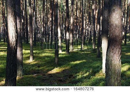 a green pine forest during a summer day with a lot of tree trunk on a green forest floor sun lights from the foreground