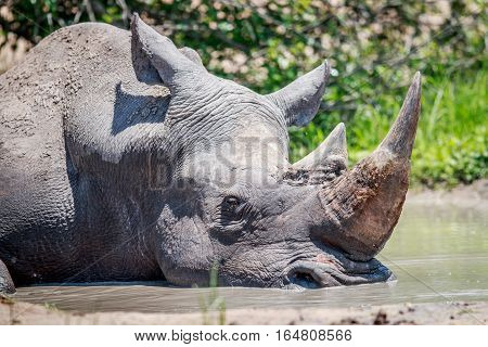 White Rhino Sleeping In The Water.
