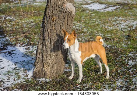 Outdoor portrait of cute basenji dog standing near tree in park