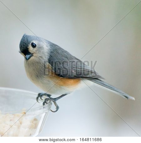 Tufted titmouse looking for meal at feeder