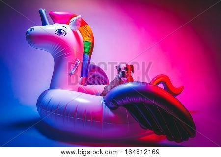 Cute Bulldog Puppy Sitting in an Inflatable Unicorn