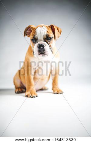 Cute Bulldog Puppy Posing in a Studio