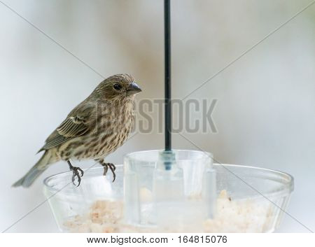 Female house finch looking for meal at feeder