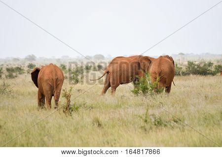 Red elephant in the savannah of Tsavo East Park in Kenya