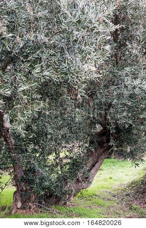 old un-cut olive tree showing overgrown branches with green grass in the background