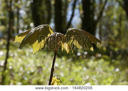 Umbrella leafs brownish green with sun shining through with forest background