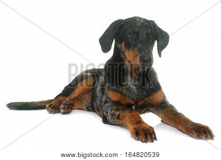 young beauceron in front of white background