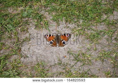 Tortoiseshell, orange butterfly resting on the ground surrounded by grass (Nymphalis urticae) landscape