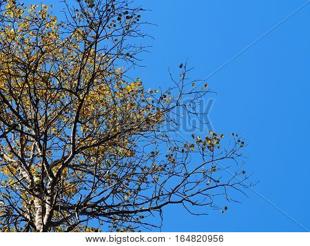 Autumn yellow aspen against the blue sky