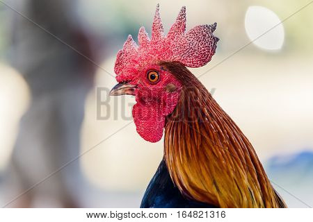 colorful rooster on nature background in nutural background.